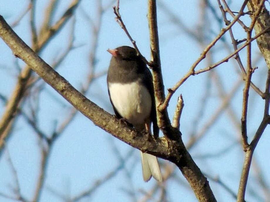 A junco perches on a branch. Photo: CONTRIBUTED PHOTO
