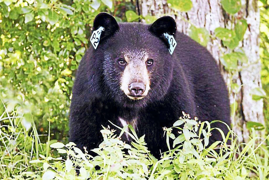 "A photo of a black bear in Connecticut with two ear tags. The state Department of Energy and Environmental Protection said this does not indicate a ""problem bear"" which has been caught twice. Instead, the tags are part of a research project. Photo: Paul J. Fusco — DEEP Wildlife Division"