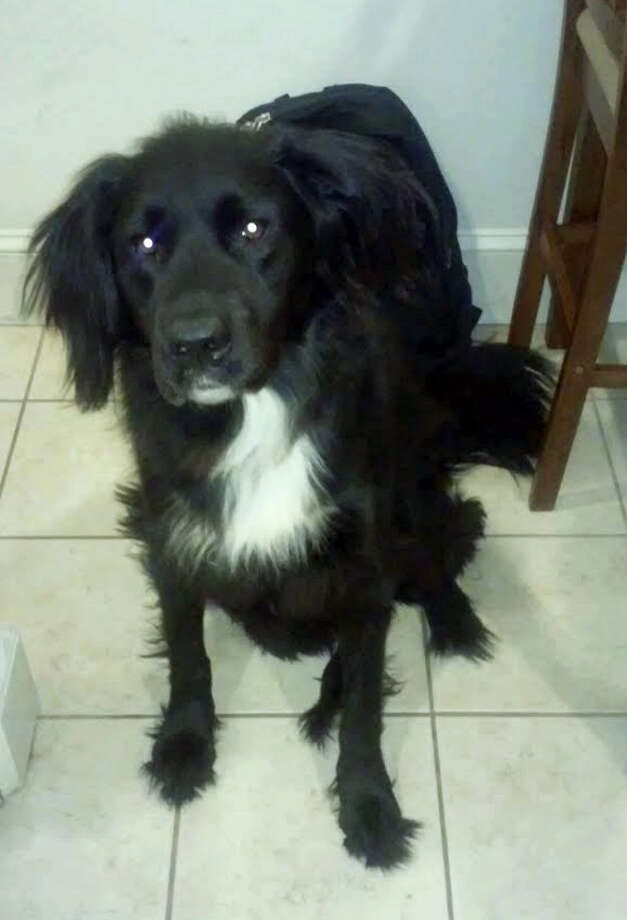 Kurtis Lo, a mixed breed dog with long black hair and a white chest, is reported missing. Photo: Contributed Photo