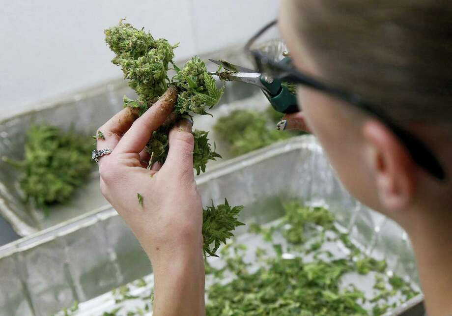 An employee trims away unneeded leaves from pot plants, harvesting the plant's buds to be packaged and sold at Medicine Man marijuana dispensary in Denver. Photo: Brennan Linsley — The Associated Press File Photo   / AP
