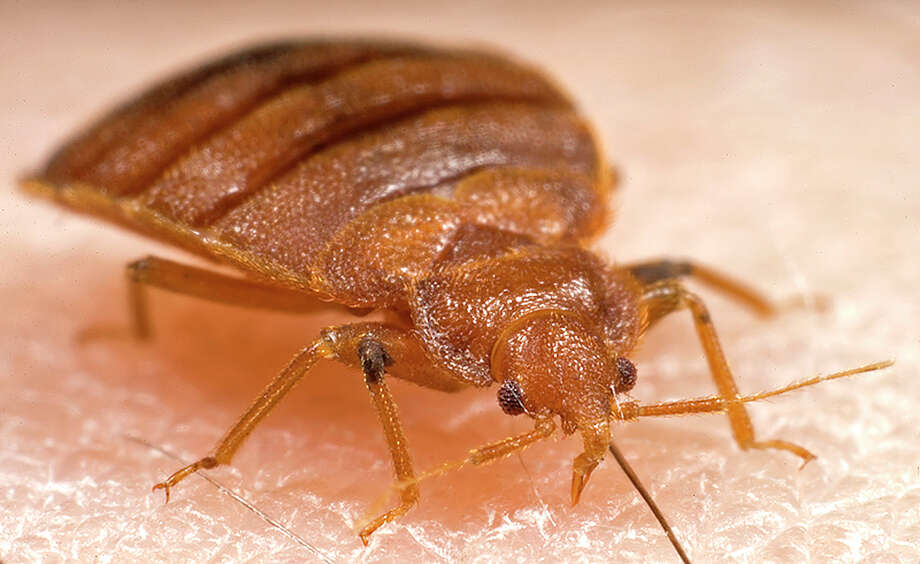 Photo from the Centers for Disease Control and Prevention of a common bedbug.