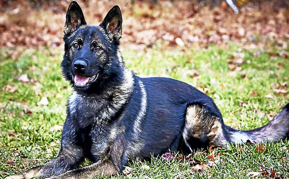 West Haven police K-9 Cody will receive a bullet and stab-protective vest, thanks to a charitable donation. Photo: Courtesy Of West Haven Police Department