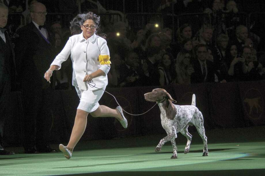CJ, a German shorthaired pointer, is shown in the ring by his handler Valerie Nunes-Atkinson during the Best in Show competition at the 140th Westminster Kennel Club dog show, Tuesday, Feb. 16, 2016, at Madison Square Garden in New York. CJ won Best in Show. Photo: AP Photo/Mary Altaffer / AP