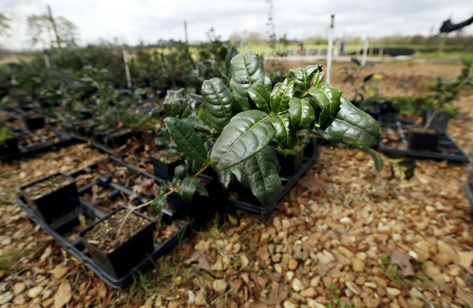 AP Photo/Rogelio V. Solis  In this Feb. 29, 2016 photograph, a Camellia sinensis plant grows on the grounds of The Great Mississippi Tea Company near Brookhaven, Miss. The plant needs high heat, acidic soil, ample rainfall and humidity. Photo: AP / Copyright 2016 The Associated Press. All rights reserved. This material may not be published, broadcast, rewritten or redistributed without permission.