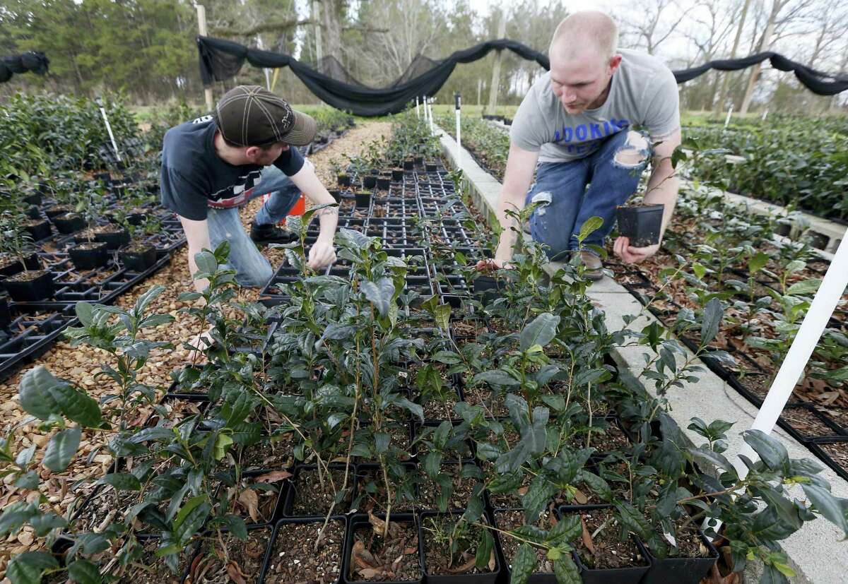 In this Feb. 29, 2016 photograph, Joshua Watson, left, and Chase White gather tea plants onto racks at The Great Mississippi Tea Company near Brookhaven, Miss. A growing number of North American farmers from Mississippi to British Columbia are growing tea for the high-priced specialty market.