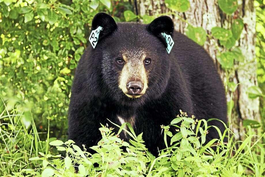A black bear Photo: Paul J. Fusco — DEEP Wildlife Division / PaulFuscoWildlifePhotography.com
