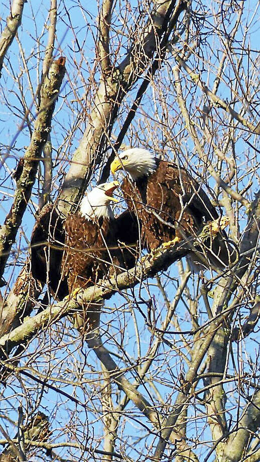 A storm in late February destroyed the nest of this pair of bald eagles in Milford. The pair has been seen building a new nest in a residential area of the city. Photo: Christopher Bousquet — Contributed Photo
