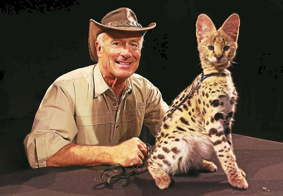 "Photo by John AtashianZookeeper Jack Hanna shows a young ocelot while on stage at the Palace Theater in Stamford on Saturday March 5. Jack was in Connecticut performing his ""Into The Wild Live"" show, which attracted families and animal lovers of all ages. The 90 minute performance included video clips, animal demonstration and stories from his travels around the world. Photo: Photo By John Atashian"
