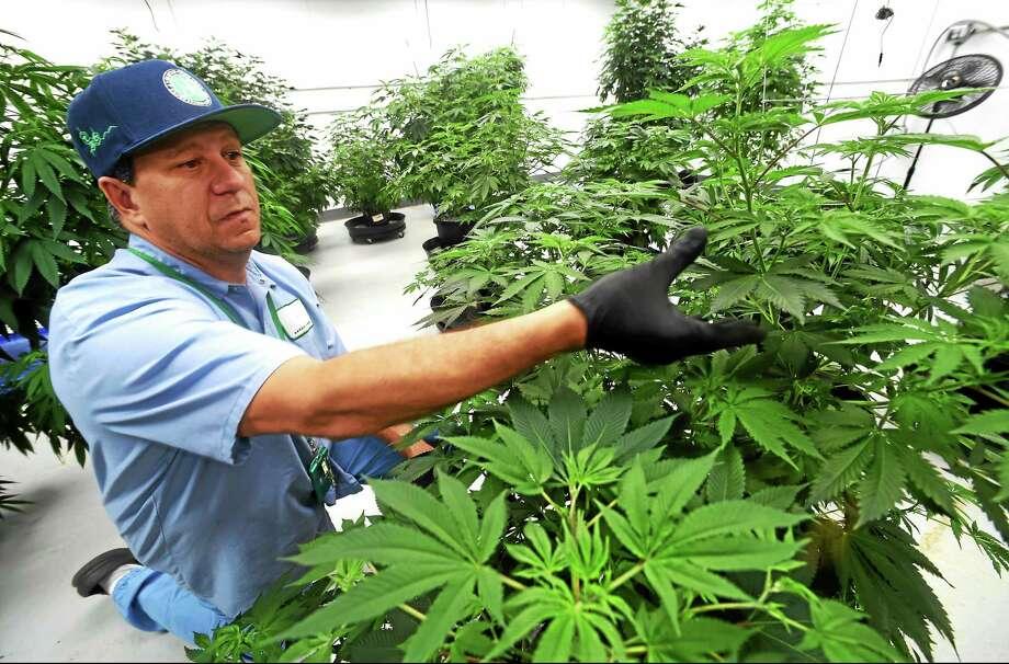"David Lipton, managing partner of Advanced Grow Labs, a medical marijuana production facility in West Haven, inspects one of the best marijuana ""mother"" plants used to propagate other marijuana plants. Photo: Peter Hvizdak — New Haven Register   / ©2015 Peter Hvizdak"