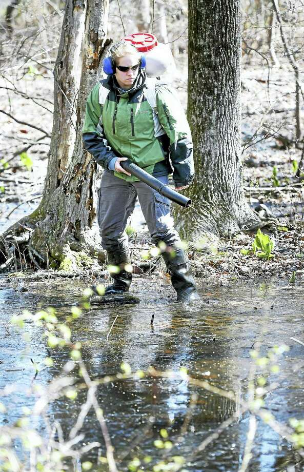 Stephanie Lindquist of All Habitat Services sprays a bacterial larvicide in a swampy area on Pond Point Avenue in Milford to kill mosquito larva on Tuesday. Photo: Arnold Gold — New Haven Register