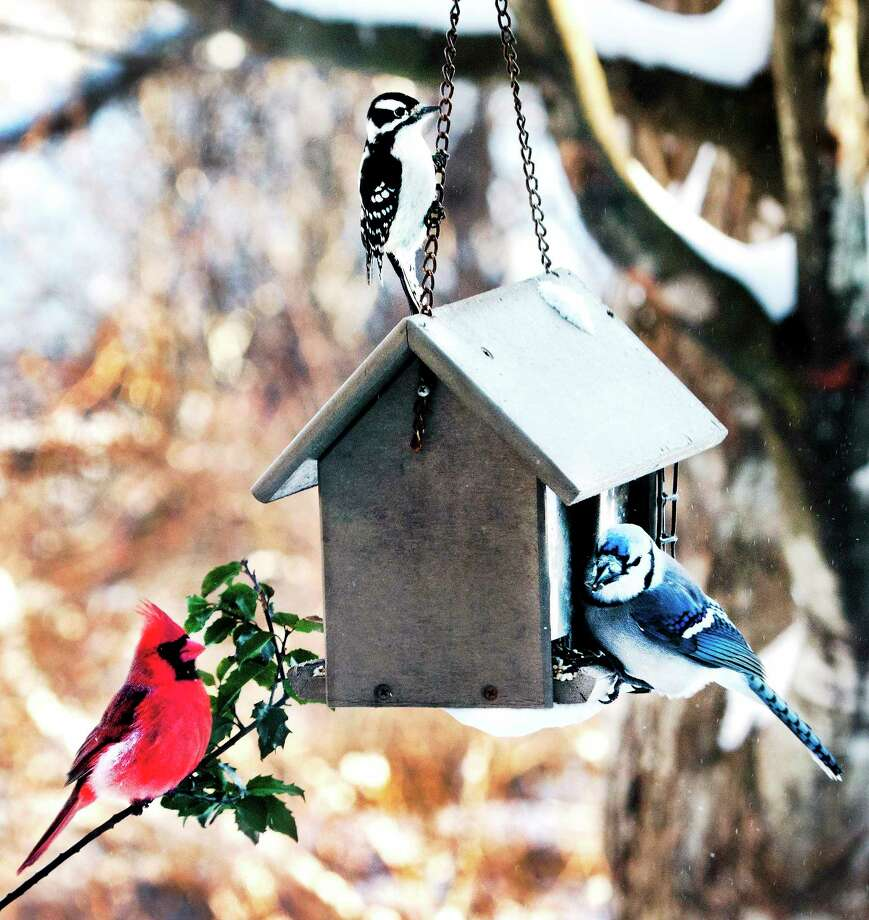 Left to Right: A cardinal, a downy woodpecker, and a blue jay share a meal at the Ansonia Nature Center. Photo: File Photo