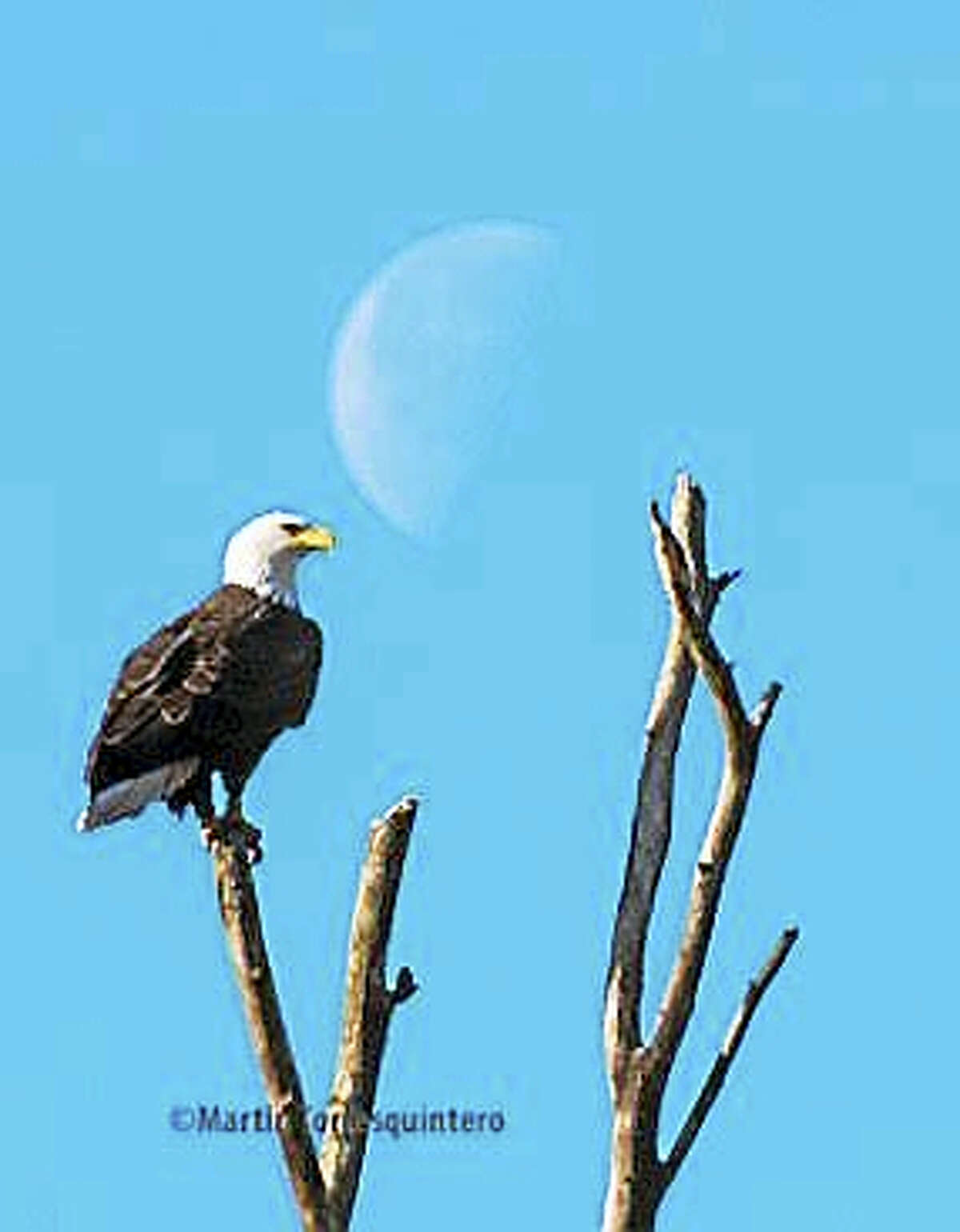 One of New Haven's bald eagles.
