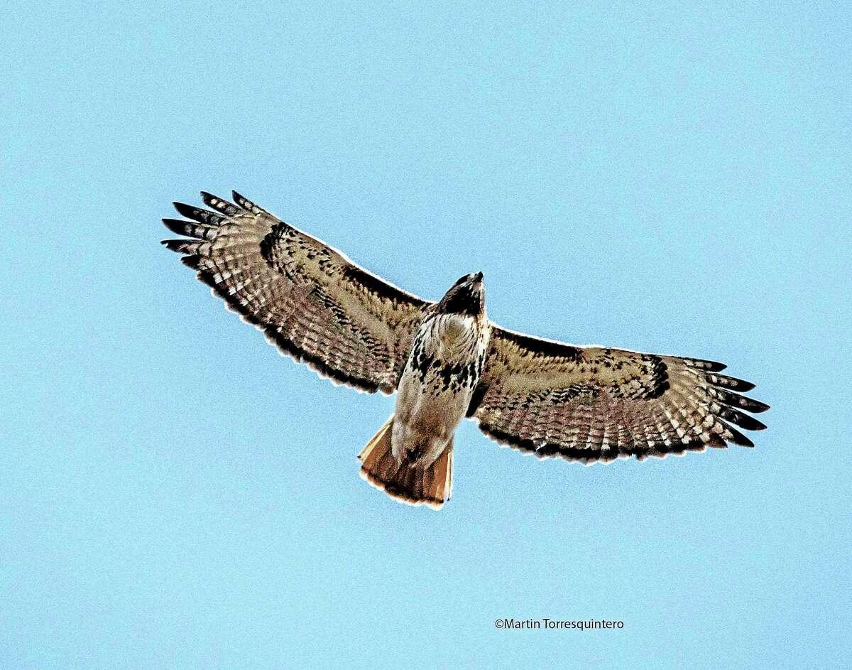 A red tail hawk.