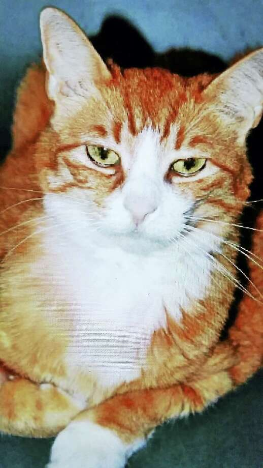 Cricket, Branford Compassion Club's cat of the month for January, is available for adoption at a reduced rate. Photo: Krista Hanniford