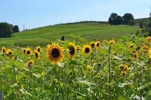 Lyman Orchard's Sunflower Maze in Middlefield opens Saturday, July 29, and runs daily, 11 a.m. to 4 p.m., through Sunday, Aug. 27.