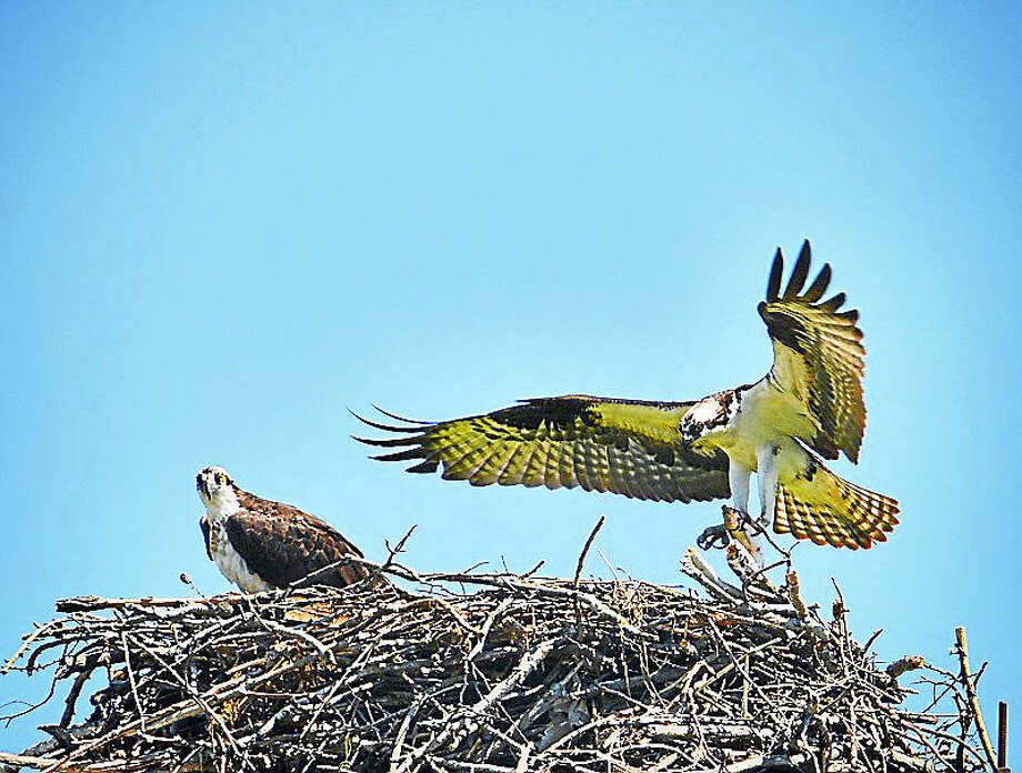 Ospreys rely on the fish populations that thrive when dams are removed from local rivers. Photo: Photo Contributed By Connecticut Audubon Society ¬
