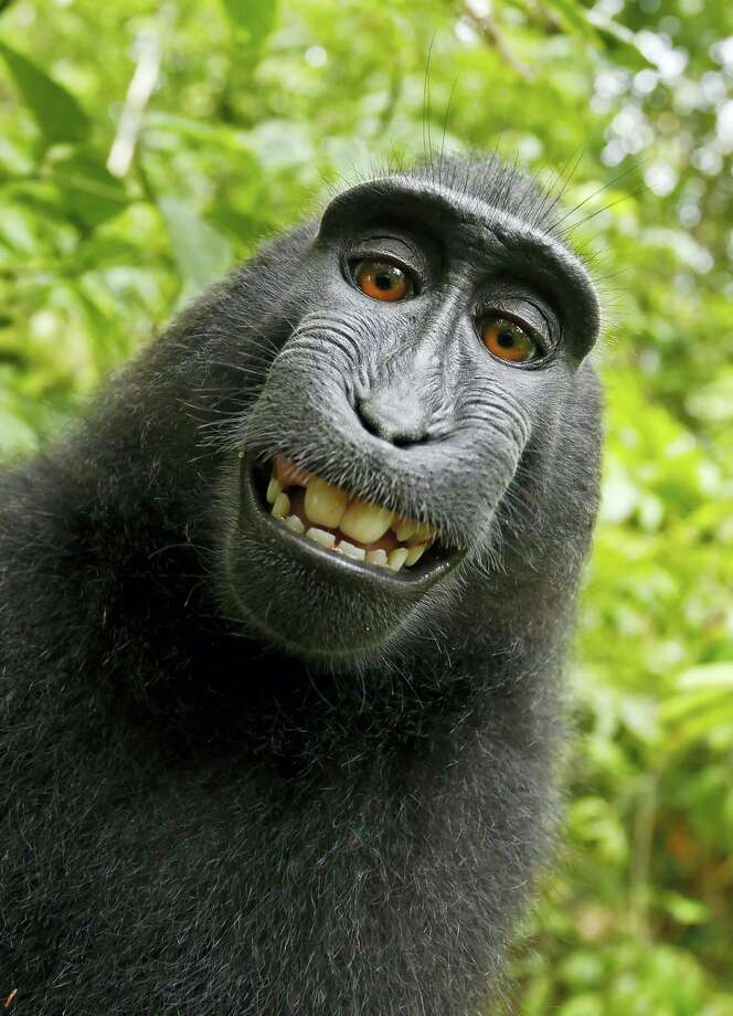 This 2011 photo provided by People for the Ethical Treatment of Animals (PETA) shows a selfie taken by a macaque monkey on the Indonesian island of Sulawesi with a camera that was positioned by British nature photographer David Slater. Photo: David Slater/Court Exhibit Provided By PETA Via AP / David Slater/Court exhibit provided by PETA
