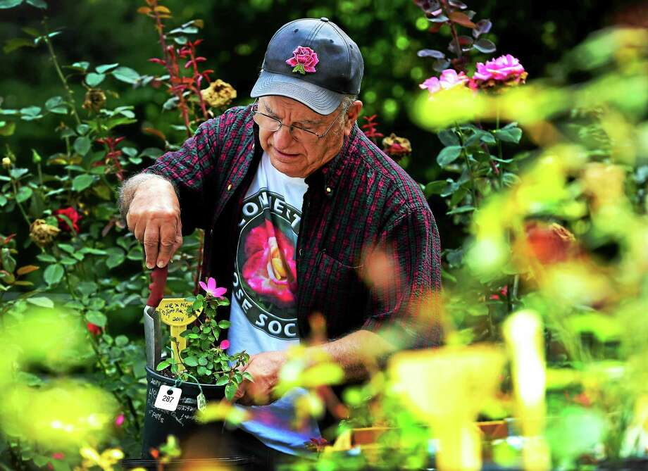 (Peter Hvizdak -New Haven Register)  Champion rose grower John Mattia of Orange, Connecticut works in  developing a new breed of a sustainable hybrid rose that he hopes will have little or no fungus disease while in his garden late last week. Photo: ©2015 Peter Hvizdak / ©2015 Peter Hvizdak