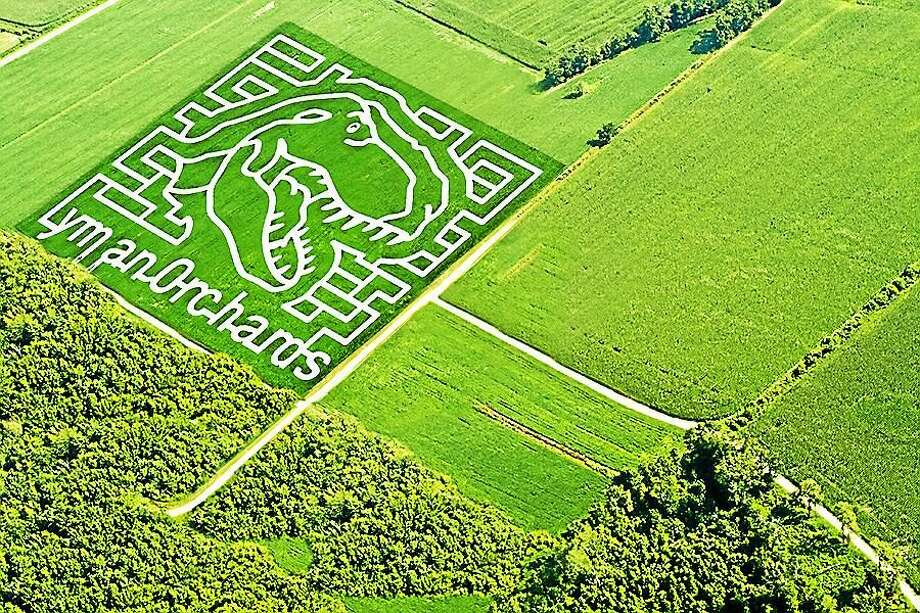 """DINO MAZE: Lyman Orchards' Sunflower Maze, in its ninth year, takes the form of a Tyrannosaurus Rex dinosaur, based on the suggestion by kids at the Connecticut Children's Medical Center, which benefits from the maze as a charitable cause. """"It's filled with surprises around every corner,"""" said John Lyman III, """"that's guaranteed to be enjoyable for even the most skilled navigators."""" The maze is comprised of more than 350,000 red and yellow sunflowers covering 3 acres. (Average time to get through: about a half-hour.) It runs from Saturday (also CPTV Kids Day) to Aug. 23; admission is $10 for adults, $5 for ages 4-12 and free for children under 3 years. <a href=""""lymanorchards.com"""">Lyman Orchards</a> is located at 32 Reeds Gap Road in Middlefield. Photo: Contributed"""