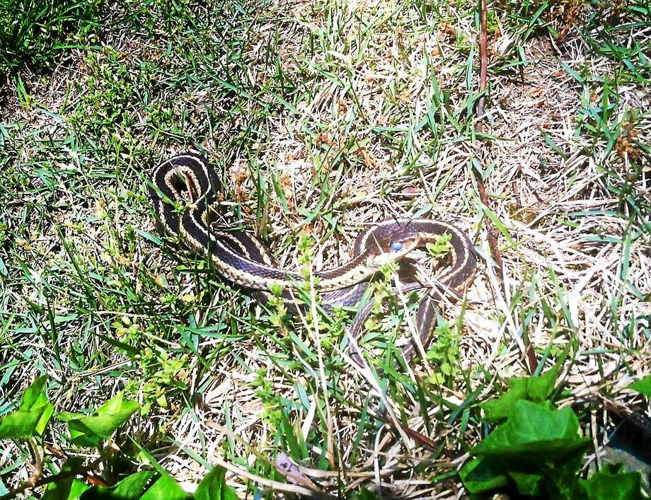 Connecticut wildlife includes the garter snake. Photo: Journal Register Co.