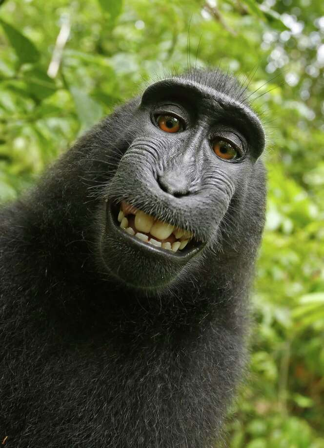 This 2011 photo provided by People for the Ethical Treatment of Animals (PETA) shows a selfie taken by a macaque monkey on the Indonesian island of Sulawesi with a camera that was positioned by British nature photographer David Slater. The photo is part of a court exhibit in a lawsuit filed by PETA in San Francisco on Tuesday, Sept. 22, 2015, which says that the monkey, and not Slater, should be declared the copyright owner of the photos. Slater has argued that, as the ìintellect behind the photos, he is the copyright owner since he set up the camera so that such a photo could be produced if a monkey approached it a pressed the button. Photo: David Slater/Court Exhibit Provided By PETA Via AP    / David Slater/Court exhibit provided by PETA