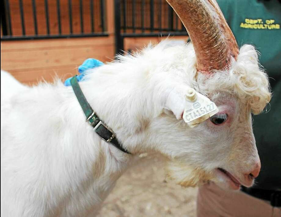 A male Saanen-cross goat, approximately 7 months old, is one of many up for auction by the state Department of Agriculture. The goat was seized from deplorable conditions on a farm in Cornwall in January. Photo: Department Of Agriculture Photos