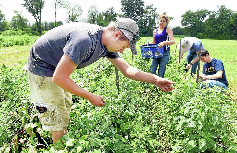 Left to right, Lars Demander and farm volunteers Liana Epstein, Ryan Laemel and Sam Schnittman pick sugar snap peas at Clover Nook Farm in Bethany. Photo: Arnold Gold--New Haven Register