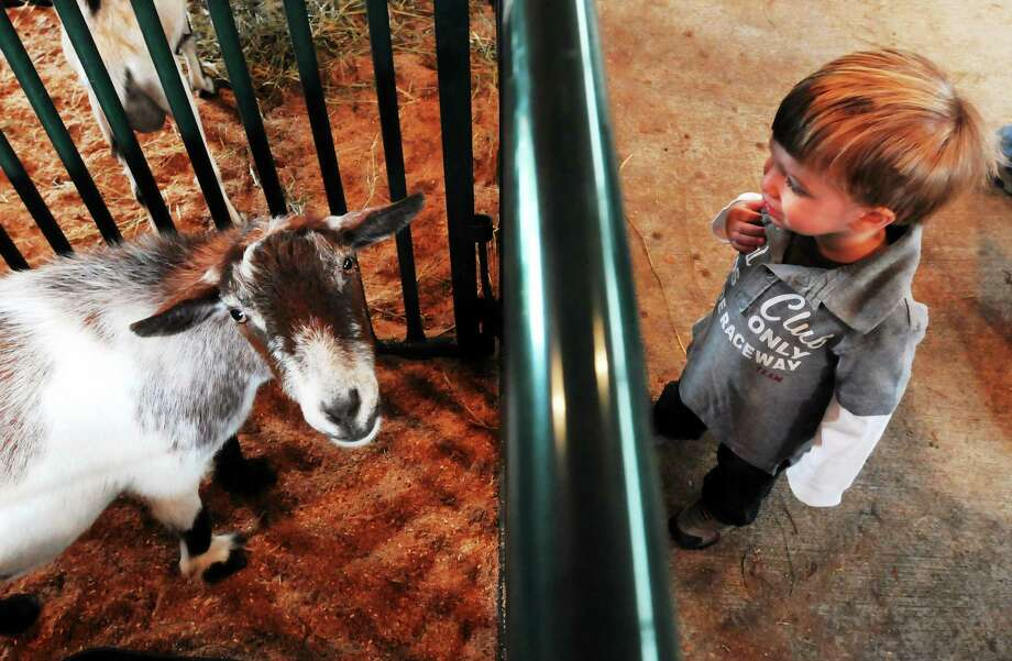 In this 2013 file photo, Matthew Zeoli of Woodbridge watches a Cabin Side Acres goat in the animal tent. Photo: Mara Lavitt — New Haven Register   / Mara Lavitt