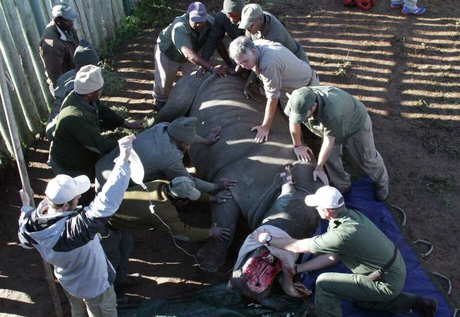 Hope, a rhino survivor, is turned during surgery, Monday, June 8, 2015, at Shamwari Game Reserve near Port Elizabeth, South Africa. Hope was darted by poachers recently at a nearby reserve and had her horns hacked off while she was sedated, fracturing her nasal bone and exposing the sinus cavities and nasal passages. Photo: (AP Photo/Courtney Quirin) / AP