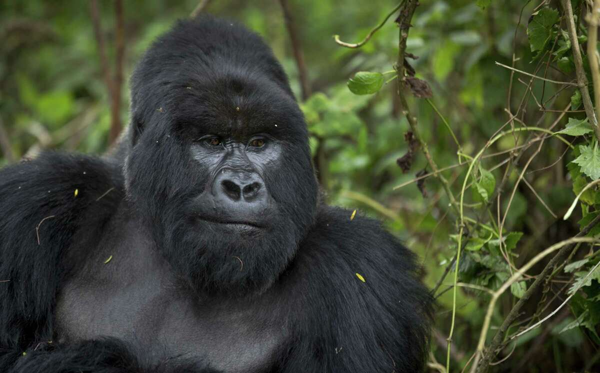 In this photo taken Sept. 4, 2015, a male silverback mountain gorilla sits in the dense forest on the slopes of Mount Bisoke volcano in Rwanda.