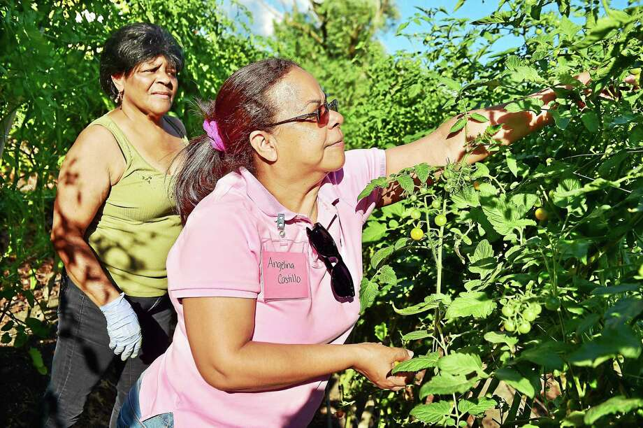 Angelina Castillo and Ana Colon pick cherry tomatoes at the farm on James Street which is operated by the New Haven Farms, Thursday, August 13, 2015. The James Street farm is the largest of eight which works in collaboration with the Fair Haven Community Health Center's diabetes prevention program. Patients work at the farm and attend nutrition and cooking classes, as well as participate in exercise routines to counter or prevent the disease.  The farm component and family oriented approach make it unique. Photo: (Catherine Avalone - New Haven Register)    / New Haven RegisterThe Middletown Press