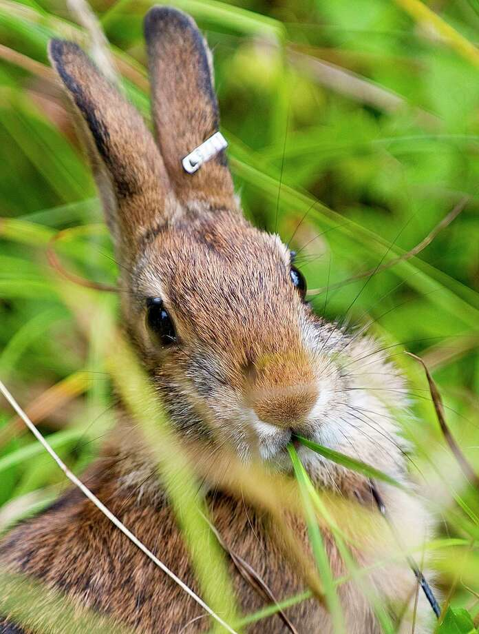 A New England cottontail rabbit is seen after it's release at Ambrose Farm in Dover, N.H. Friday, Sept. 11, 2015, celebrating the success of conservation efforts in protecting the species. Photo: John Huff /Foster's Daily Democrat Via AP    / Foster's Daily Democrat