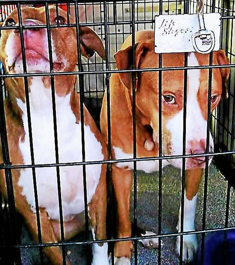 Two pit bull mixes that were found Monday roaming Collins Street in Hamden Photo: Courtesy Of Hamden Police Department