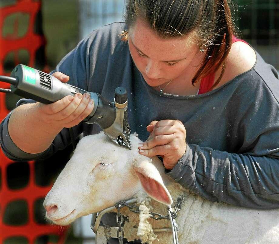 NH9/7/07 1Fair  ML0388F  Nicole McKay of Higganum shears her Dorset sheep Roscoe in preparation for his market lamb class at the North Haven Fair. Photo by Mara Lavitt Photo: Mara Lavitt - Register File Photo