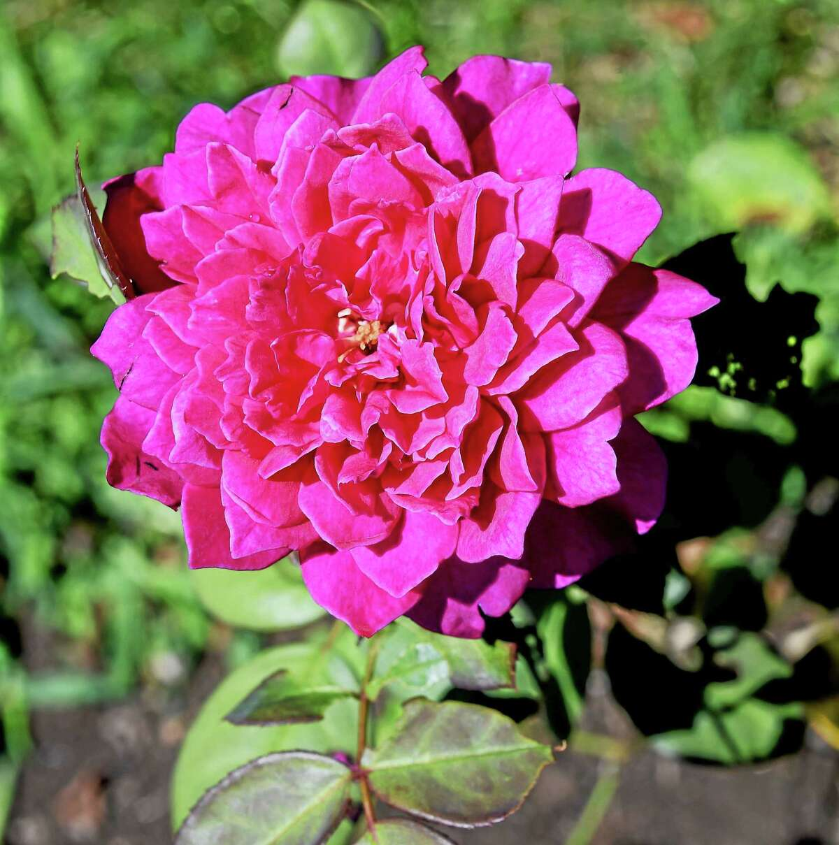 (Arnold Gold-New Haven Register) Sophy's Rose in full bloom at the Pardee Rose Garden in Hamden recently.