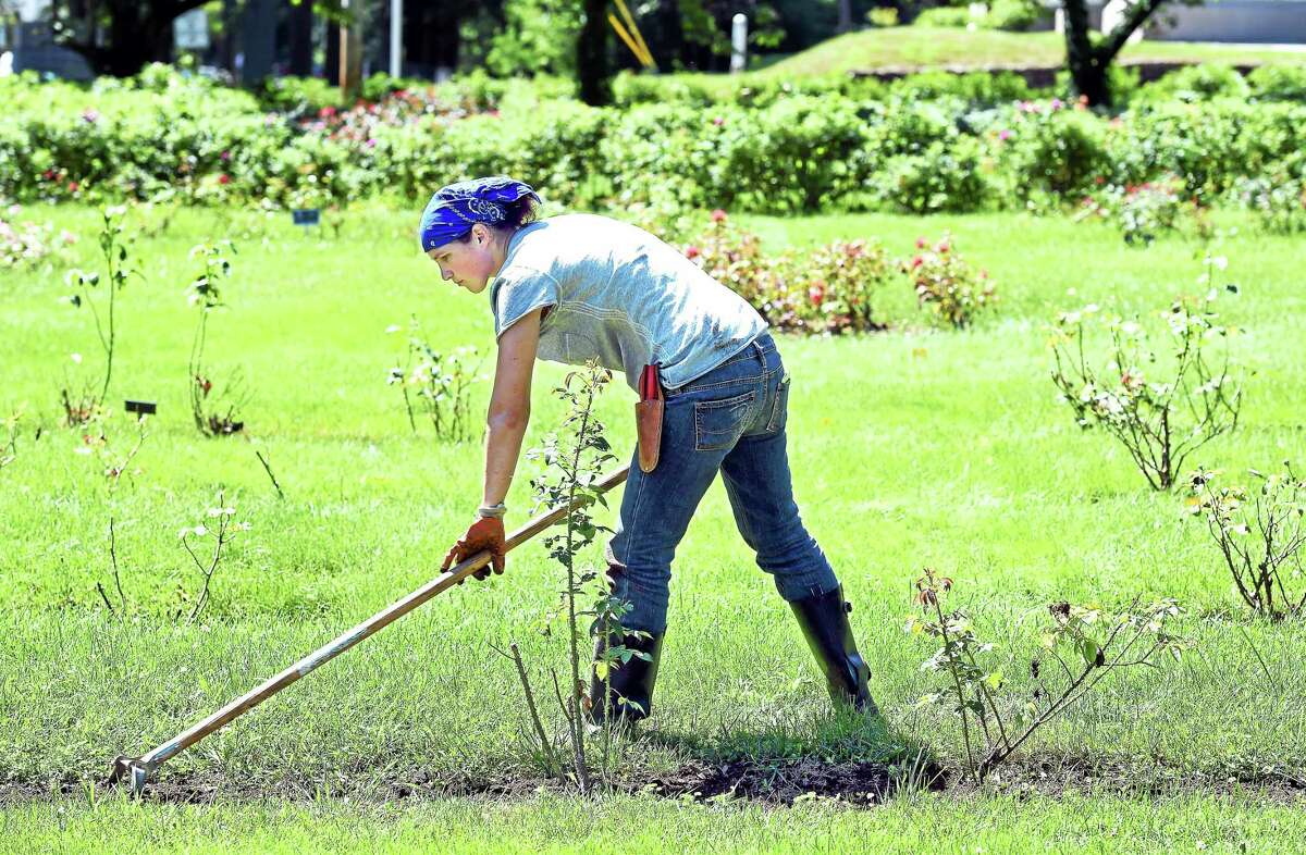 (Arnold Gold-New Haven Register) Brooke Ruggio weeds around English Roses at the Pardee Rose Garden in Hamden recently.