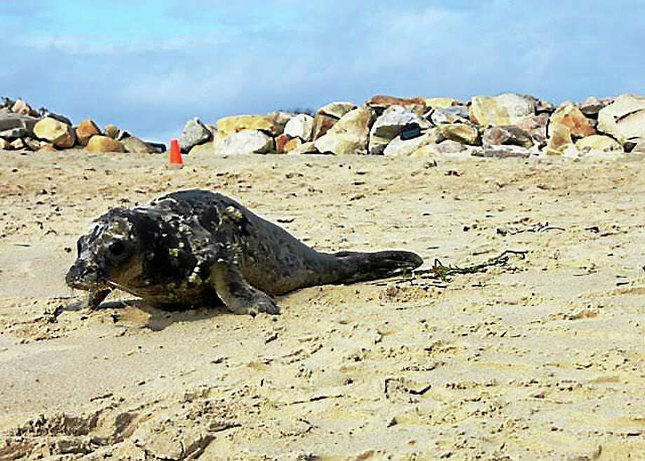 Horseradish, a young gray seal, was released back into the ocean Thursday at Blue Shutters Beach in Charlestown, Rhode Island. Photo: Contributed Photo