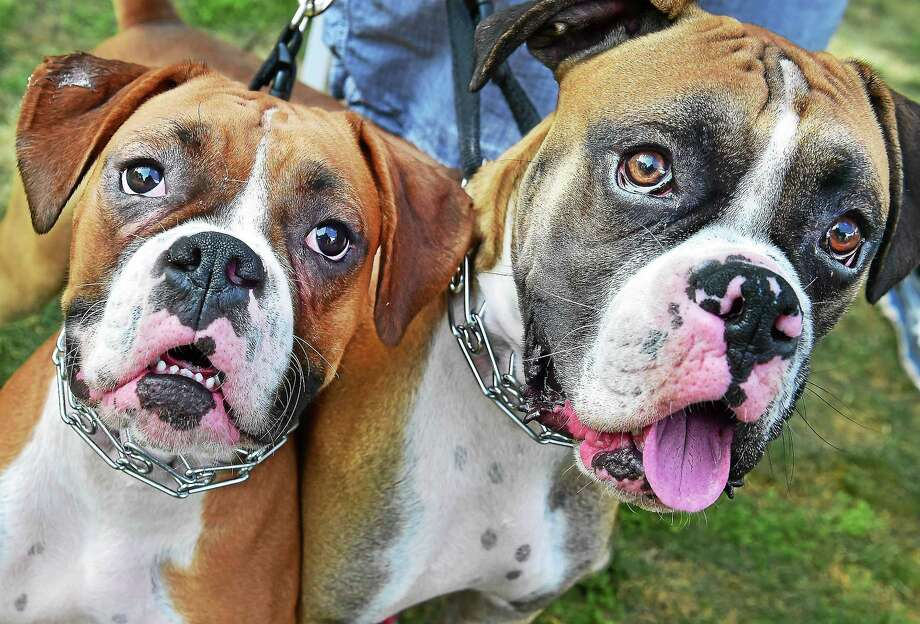 A couple of canines at the 3rd annual Woofstock on the Branford Green, Saturday, August 8, 2015, a fundraiser for the Daniel Cosgrove Animal Shelter. Photo: (Catherine Avalone - New Haven Register)     / New Haven RegisterThe Middletown Press
