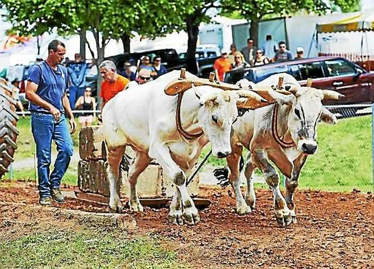 Draught oxen at the 103rd annual Goshen Fair