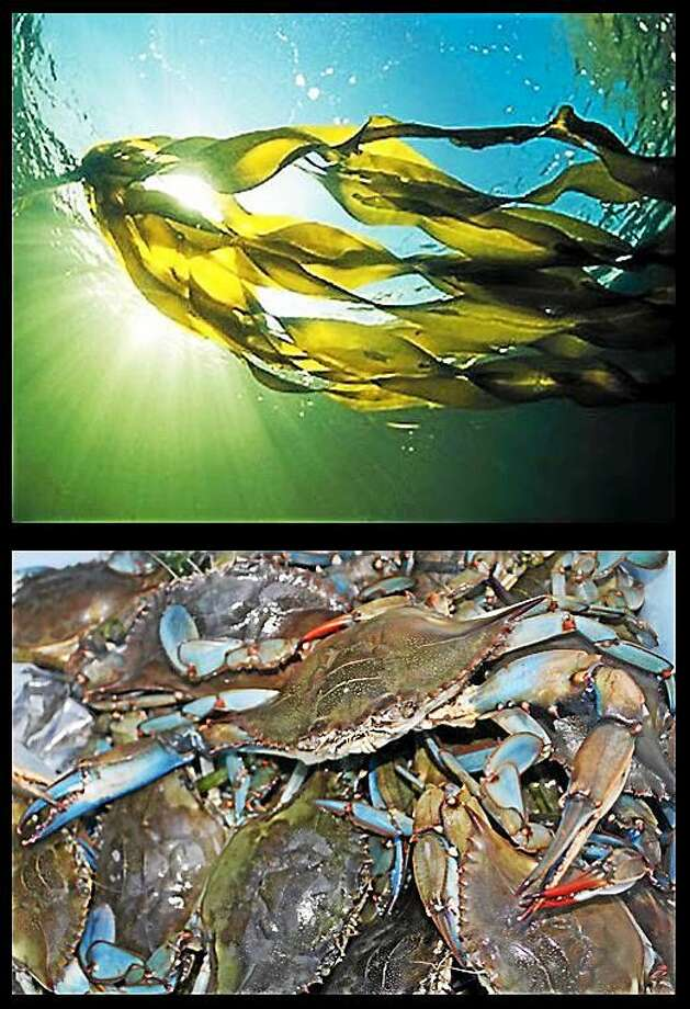 Westbrook Library will host Touch Tank: Seaweed Secrets, Shell Stories & Crab Life Saturday. Photo: Potapaug Audubon