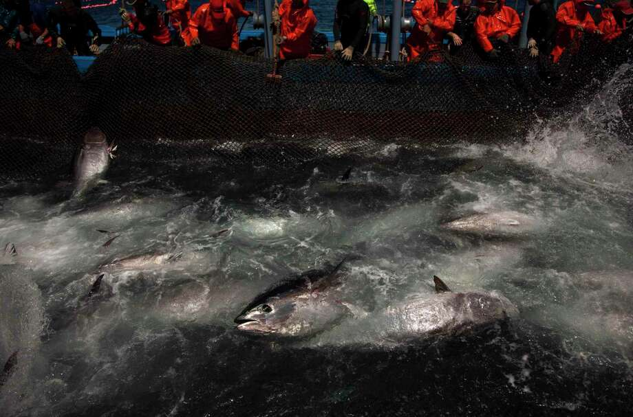 In this Wednesday, April 27, 2011, file photo, Atlantic bluefin tuna are surrounded by fishing nets during the opening of the season for tuna fishing off the coast of Barbate, Cadiz province, southern Spain. The European Union is looking into reports that cheap seafood is often mislabeled as choice fish in some of the Belgian capital's fine restaurants and even in EU cafeterias. The Oceana environmental group said Tuesday, Nov. 3, 2015 it found that 31.8 percent of seafood it tested in and around EU institutions in Brussels was a different fish than what was labeled on the menu. Oceana said 95 percent of what was labeled Bluefin tuna — a fatty, sublime sushi favorite — was actually a less expensive species, served to make a hefty profit. Photo: AP Photo/Emilio Morenatti, File    / AP