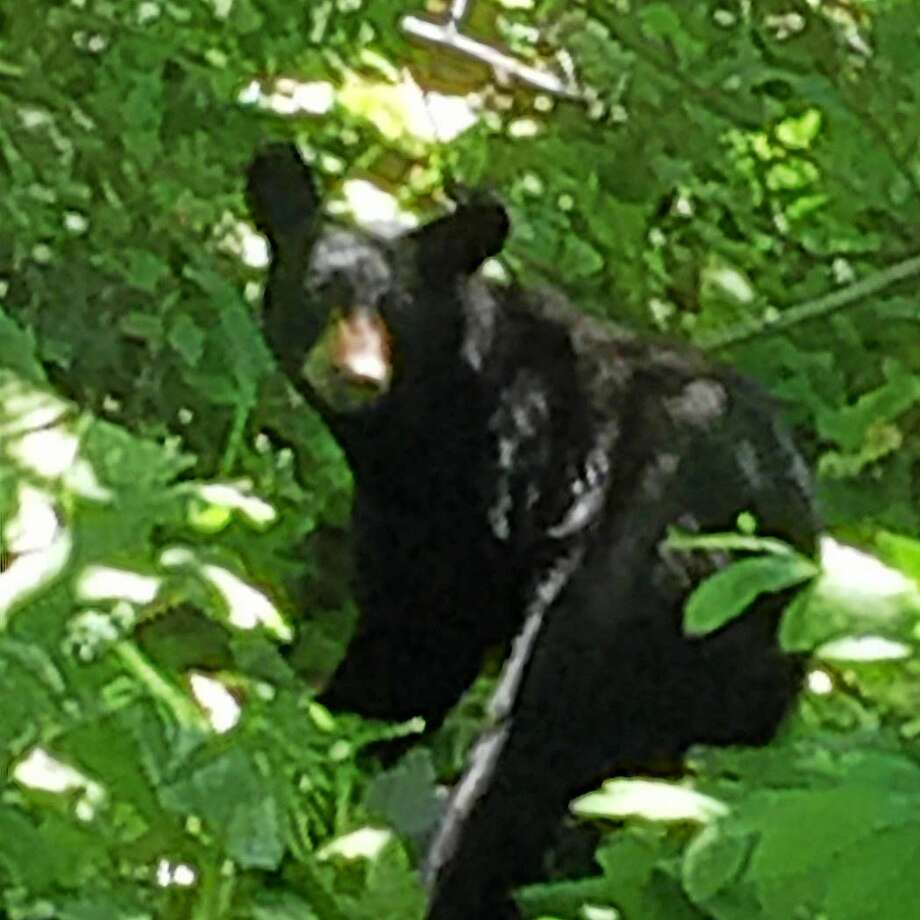 A bear is spotted taking garbage into the woods near the 1950 block of Hartford Turnpike in North Haven Friday morning. Photo: Contributed Photo - Paul Jacobs