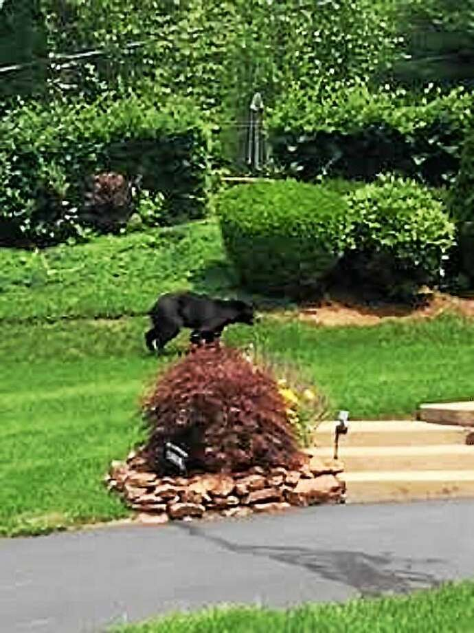 A photo taken by a resident of Eddon Drive in East Haven shows a black bear that was spotted in town Thursday. Photo: CONTRIBUTED PHOTO — Cailey Karwek