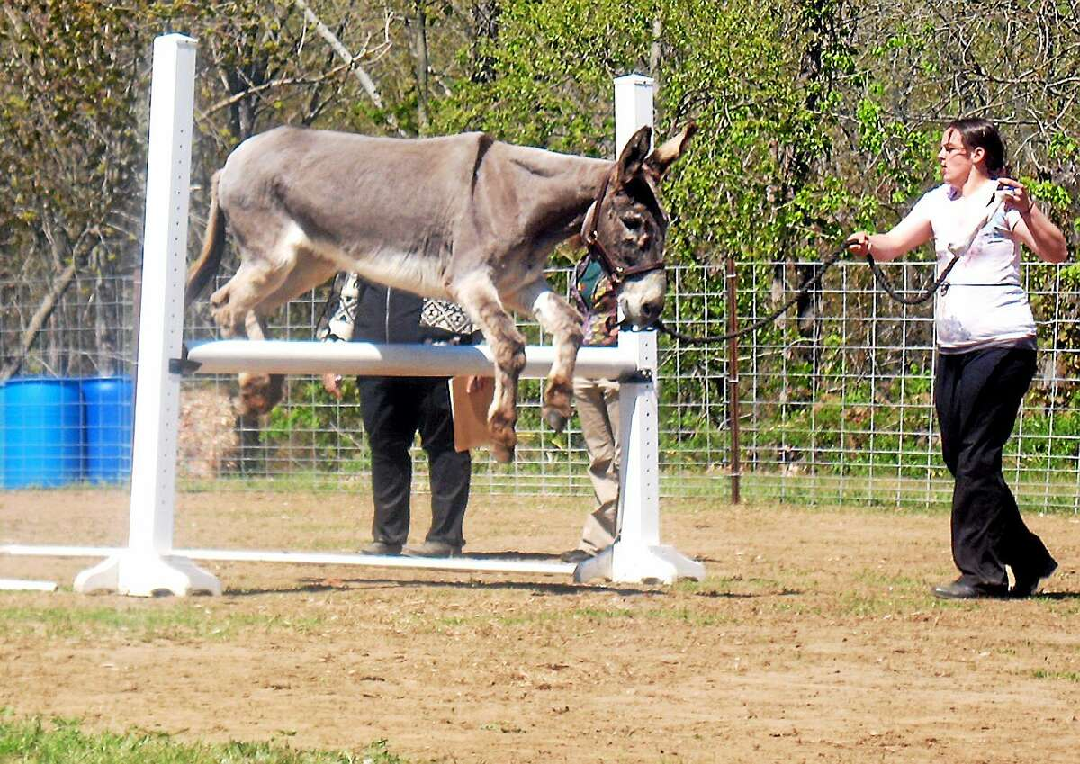 Coon jumping dates back to the days when Southern raccoon hunters needed their mules to jump fences in order to keep up with the quarry.
