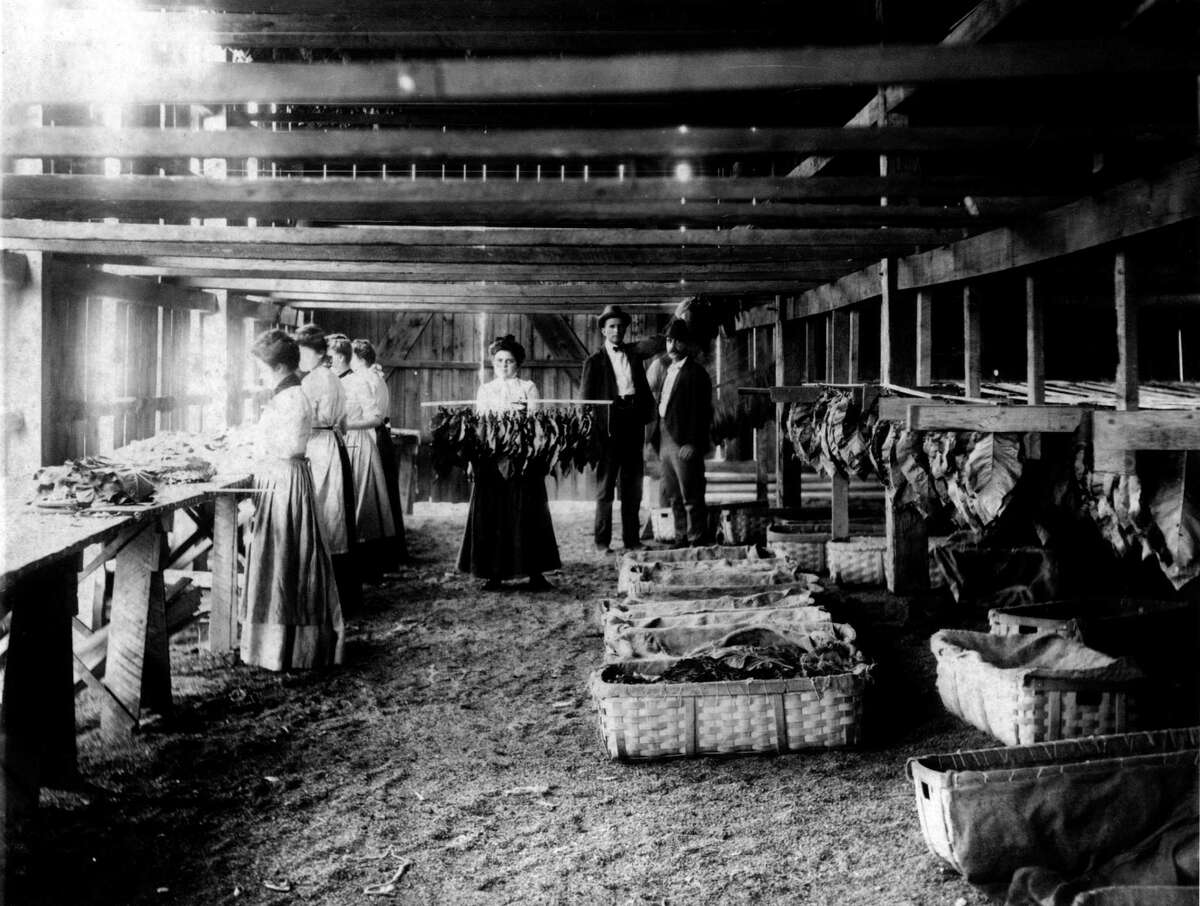 Women at work in one of Connecticut's tobacco sheds.