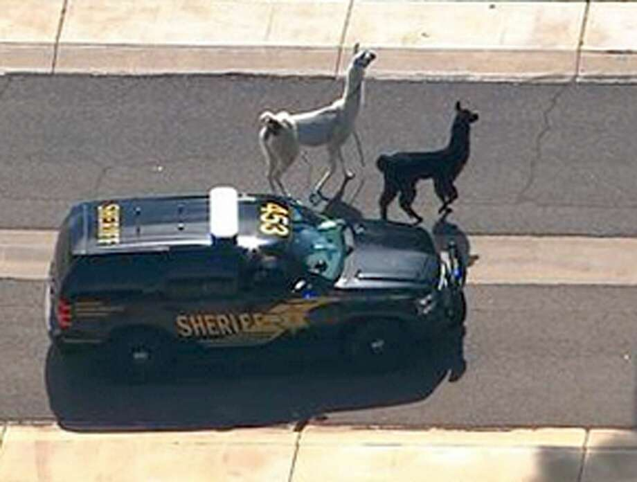 FILE - In this image taken from video and provided by abc15.com on Feb. 26, 2015,  a Maricopa County Sheriff's vehicle tries to herd two quick-footed llamas as they dash in and out of traffic before they were captured  in Sun City, Ariz.  The llamas that became a social media sensation running around the Phoenix suburb last month are saying goodbye to the spotlight. Owners Bub Bullis and Karen Freund say Kahkneeta and Laney, whose televised dash mesmerized the Internet and Sun City residents, will likely be making their last public appearance Saturday, March 28 at a Phoenix race track.  (AP Photo/abc15.com) MANDATORY CREDIT. Photo: AP / abc15.com