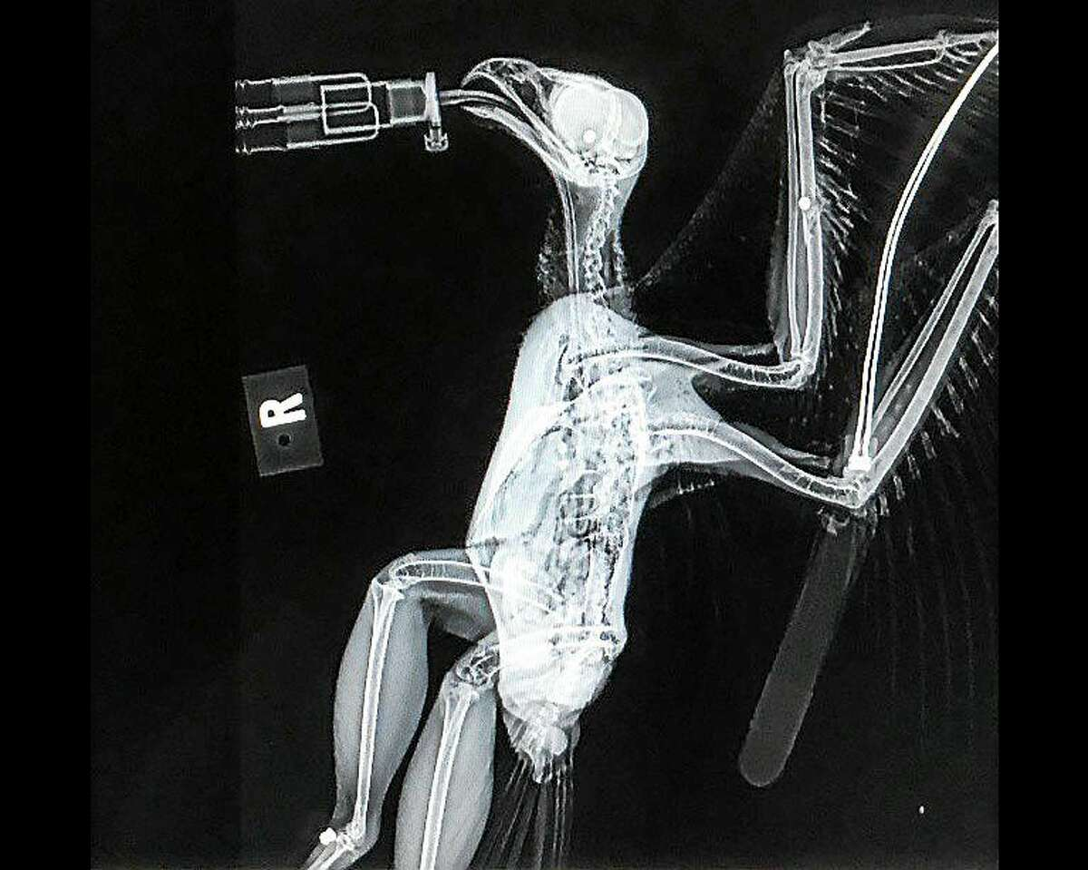 This X-ray shows BB gun pellets lodged near the red-tailed hawk's brain and wing. Another pellet lodged in the body shows the hawk had been previously shot with a BB gun.