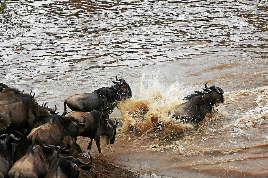 PHOTO COURTESY AMANDA SUBALUSKY AND CHRIS DUTTON  Wildebeest cross the Mara River. Photo: Journal Register Co.