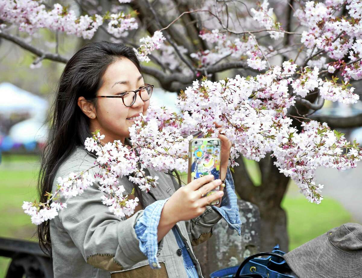 Mary Kim of New Haven takes a selfie by cherry blossoms during the 42nd Annual Cherry Blossom Festival in Wooster Square Sunday.