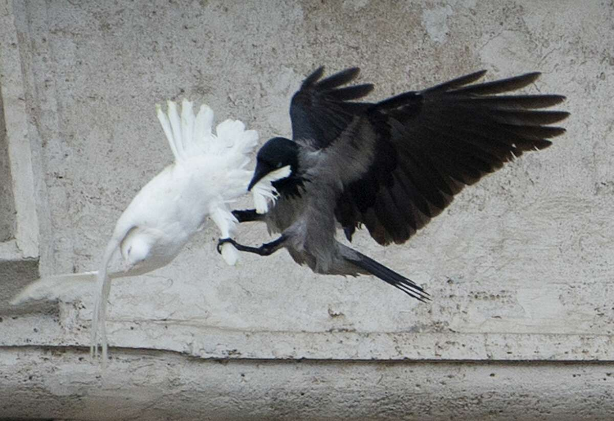 In this Jan. 26, 2014 photo, a dove which was freed by children with Pope Francis during his Angelus prayer, is attacked by a black crow in St. Peter's Square, at the Vatican.